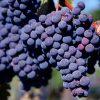 variedad de uva Merlot